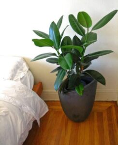 Rubber tree (Ficus elastic)